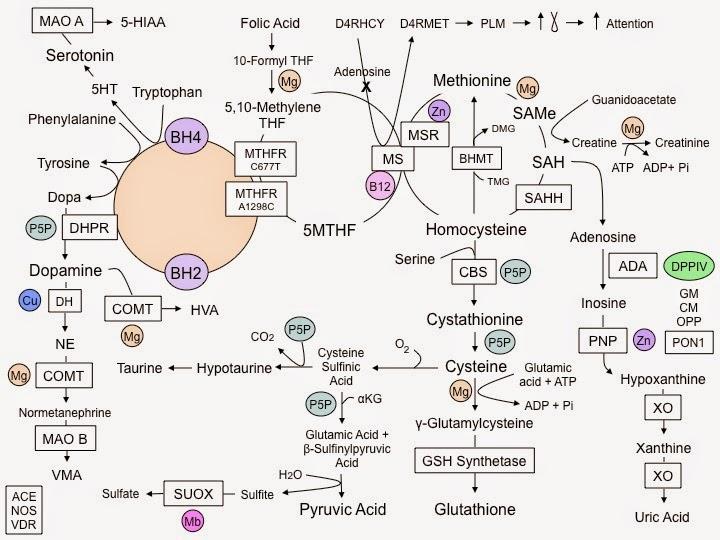 7336d-methylation-pathways-1